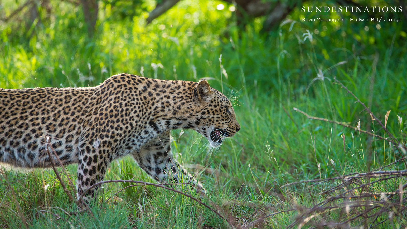 Unknown Leopardess Ezulwini
