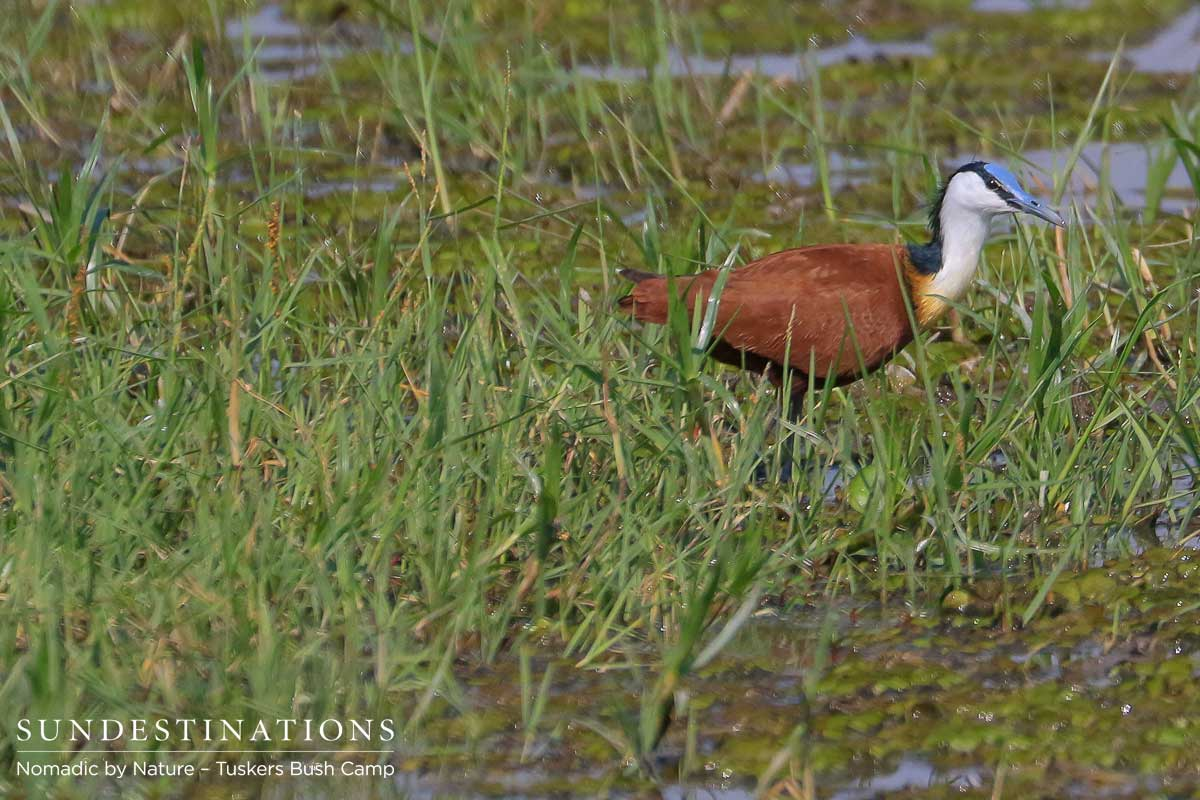 African Jacana Tuskers
