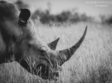 Gusts of breath released through the leathery nostrils of a white rhino send swirls of dust into the air, as her head hangs low to the ground. She is designed to graze, to shear the grass with her tough lips and flat, textured molars. The weight of her head is supported by her mighty neck […]