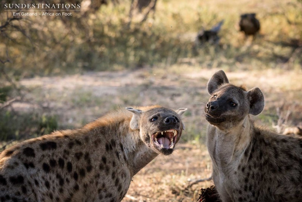 Arguments between hyenas