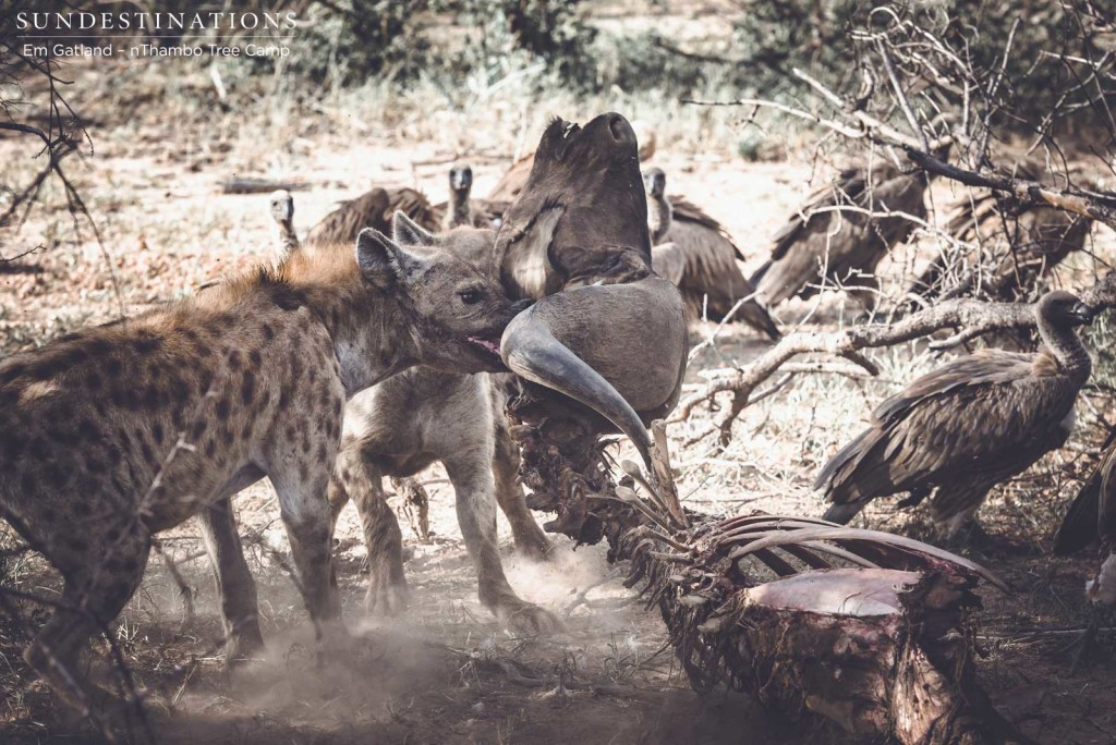 Hyenas team up to drag the remaining carcass away from the vultures