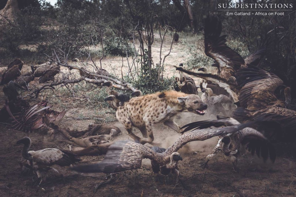 Hyenas and vultures take over lion kill