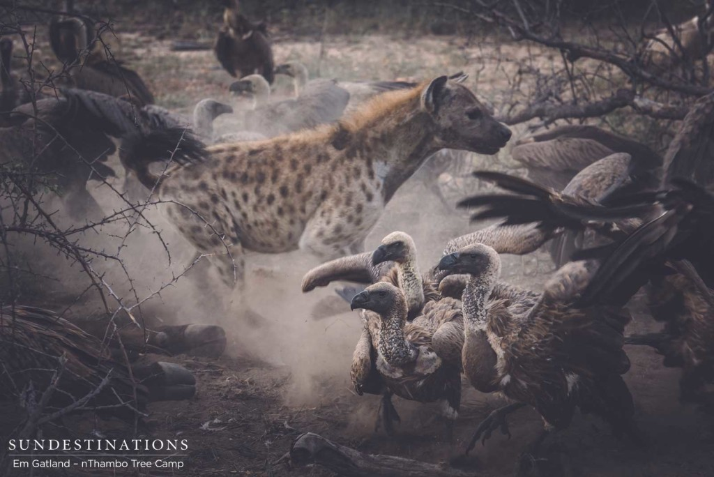 Hyenas charge in, fighting with the vultures to get a share of the carcass