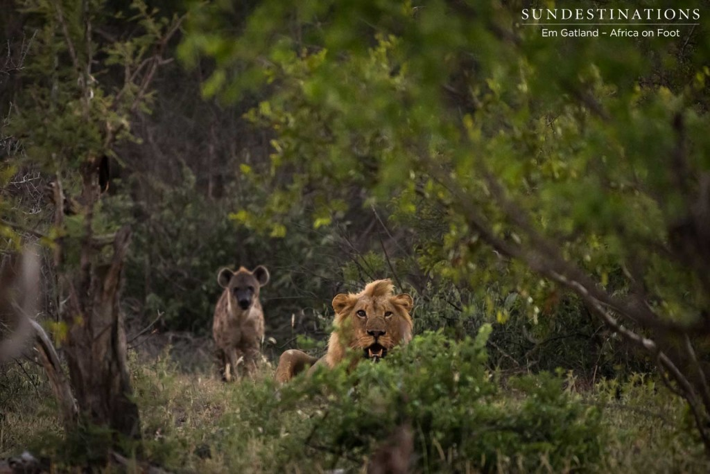 Hyenas lurk in the background, pressuring the lions to give up their kill