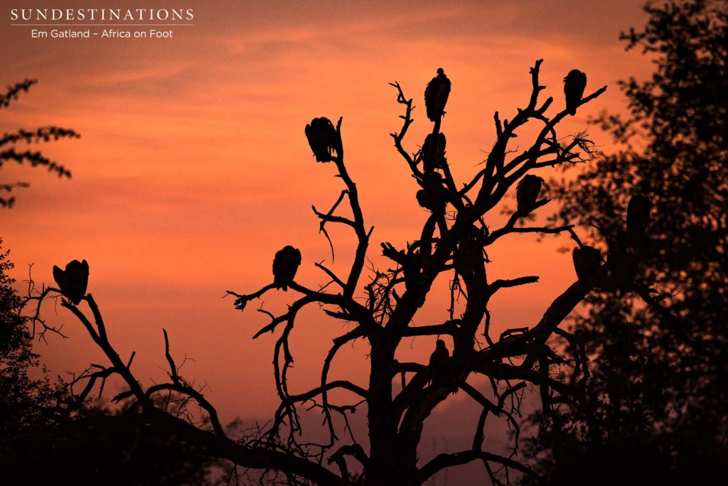 Vultures waiting for a chance at the carcass; silhouetted by the sunrise