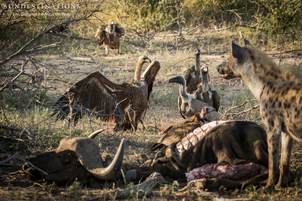 Hyenas and vultures move in as the lions leave the carcass