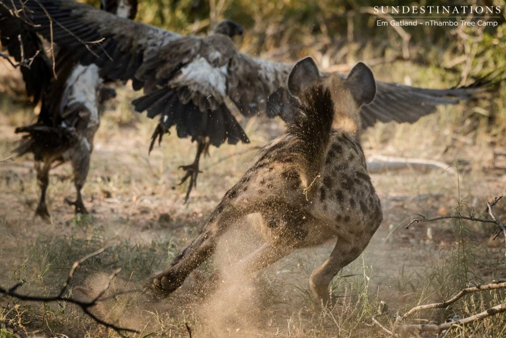 Hyenas chasing the vultures away from the carcass