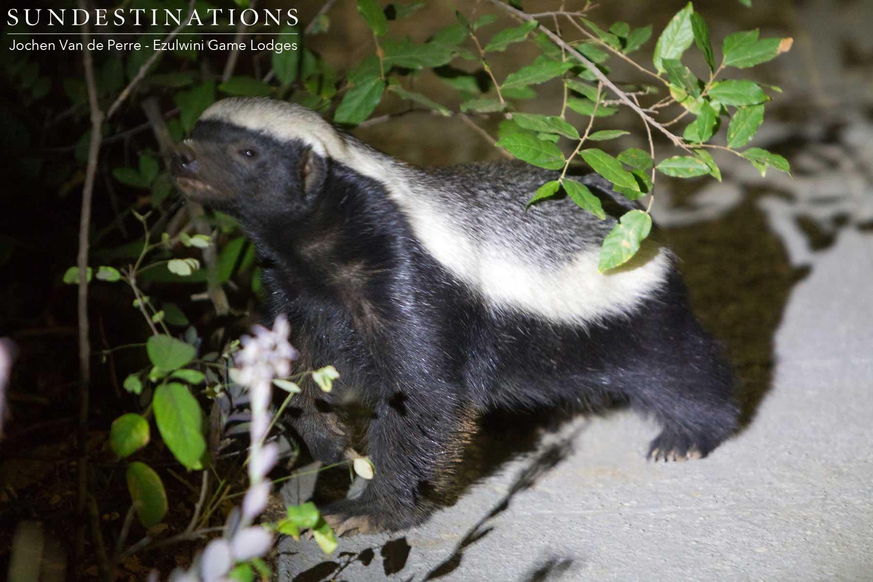 Honey Badger Ezulwini