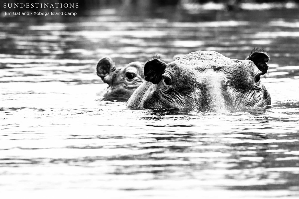 Beady eyes in black and white - several tonnes of hippo lurking beneath the Delta waters