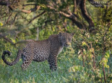 This morning's safari held some exciting predator activity in the Klaserie, with a hijackingthat happens all too often in the world of the wild: A pair of conniving hyena cronies stole an impala kill from leopards Ross Dam and Bundu. This mother-son duo was seen in the first moments of light this morning, apparently quite […]