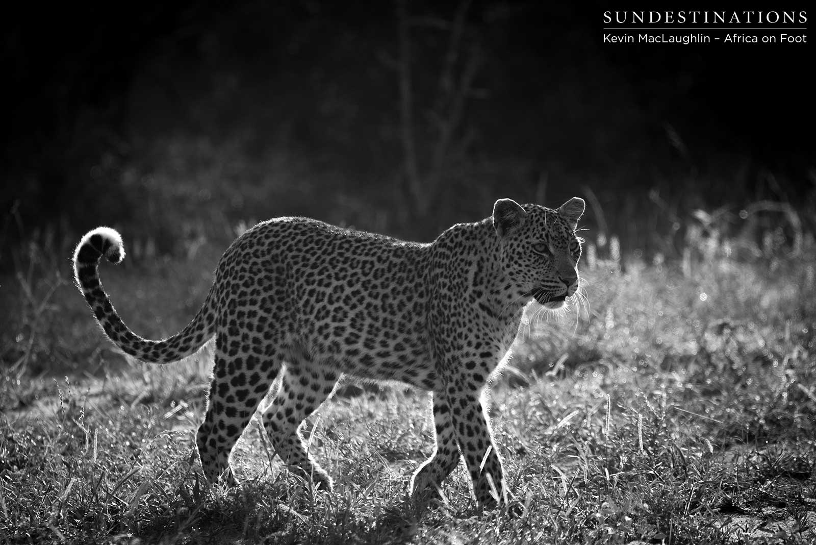 Hyenas Hijack Leopards' Kill in Klaserie
