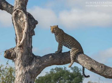 This morning's safari at nThambo Tree Camp was one for the books. We consider ourselves lucky every time we see a leopard, as they are the most elusive member of the Big 5 and their solitary, nocturnal lifestyles make them difficult to spot. Fortunately, our traverse in the Klaserie seems to provide the perfect habitatfor […]