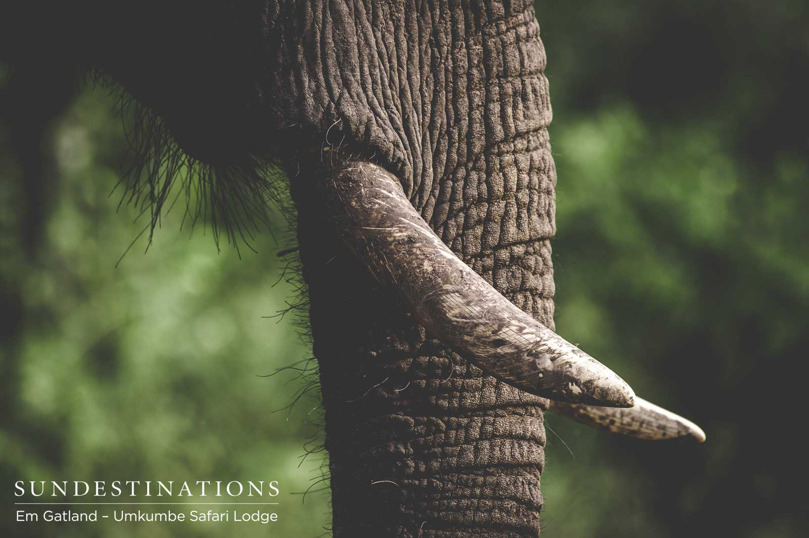 Umkumbe Safari Lodge : Understanding Our Emotional Grey Giants