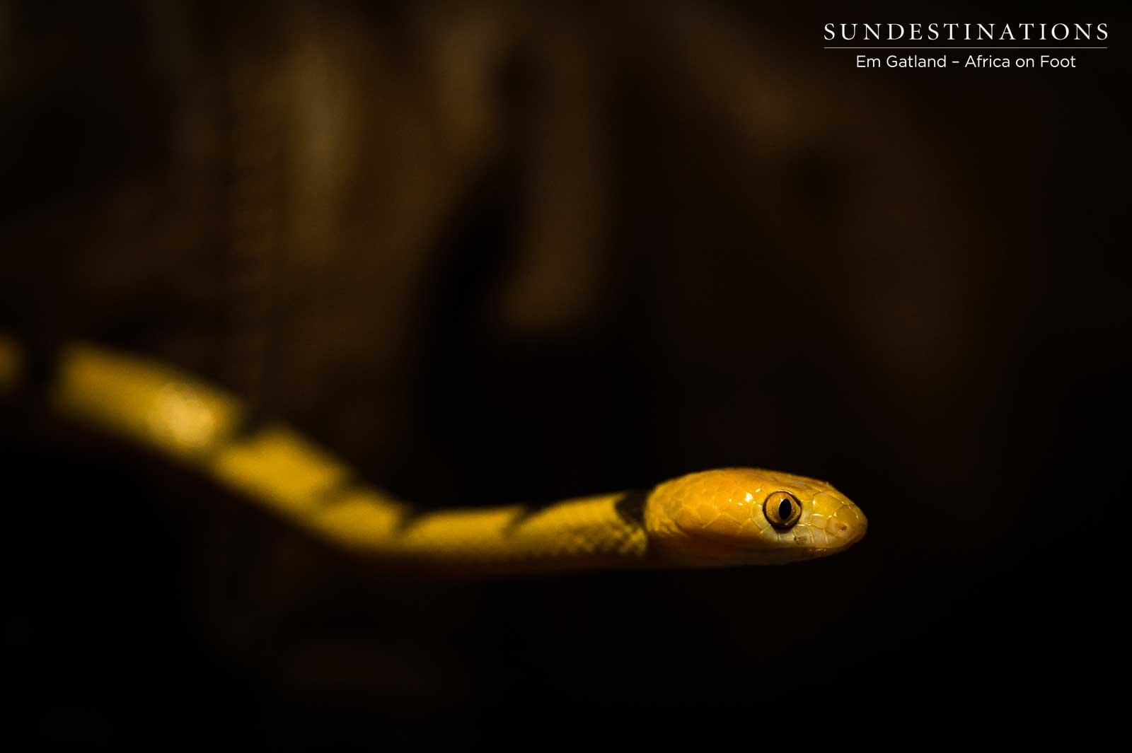 Unusual Sightings in Klaserie : The Eye of the Tiger Snake