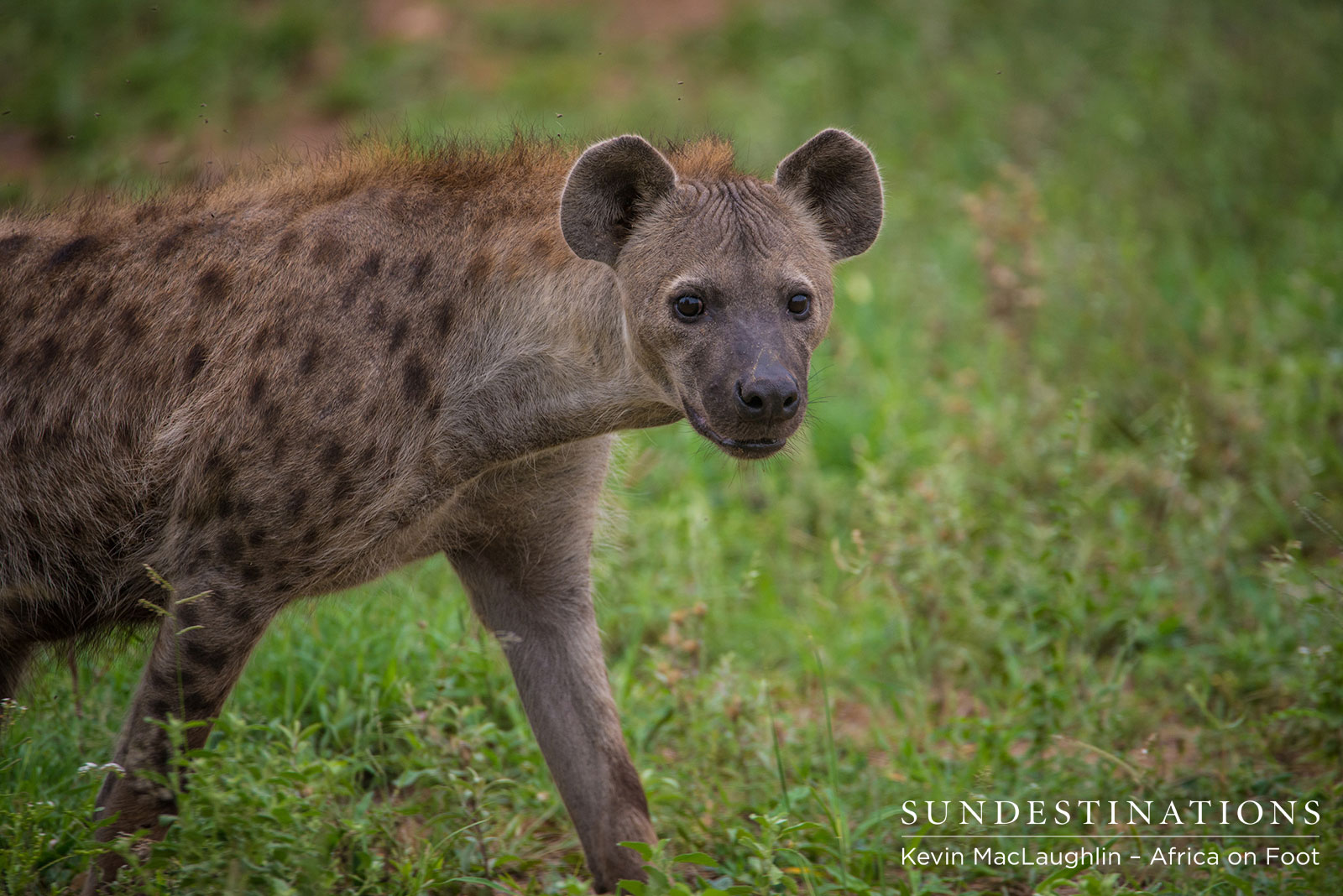 Hyena at Africa on Foot