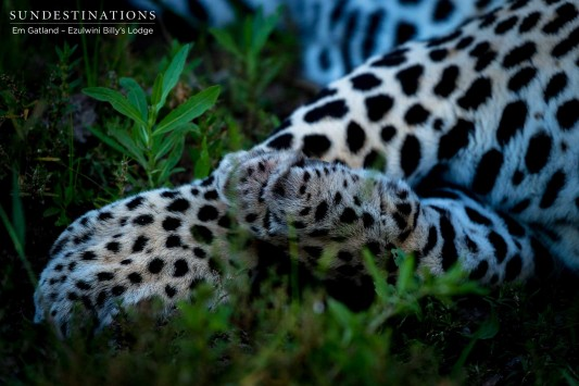 Chavaluthu Leopard Paw