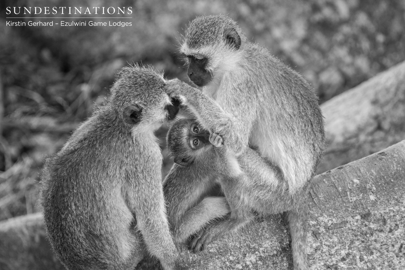 Vervet Monkeys in Balule Nature Reserve