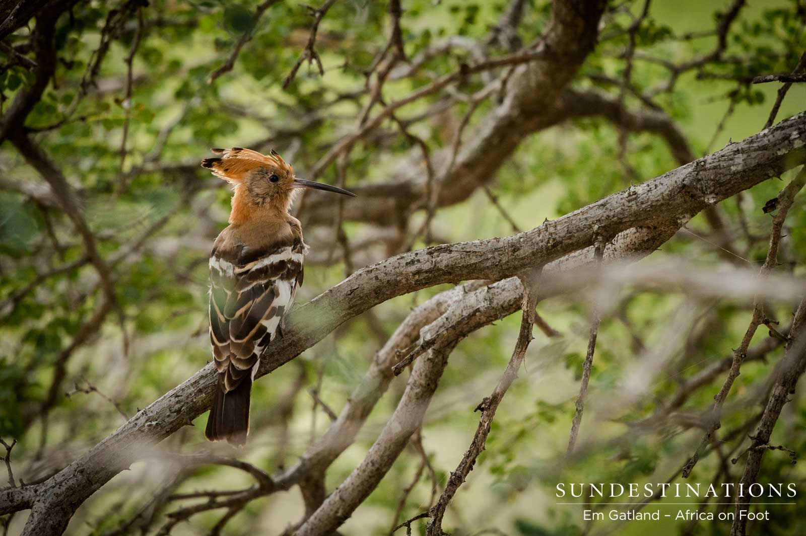 African Hoopoe in Klaserie