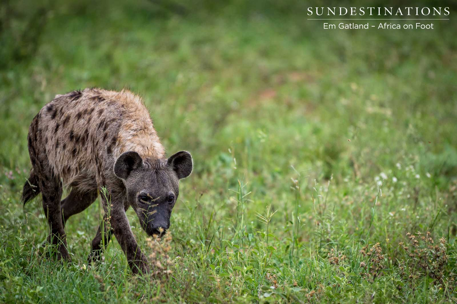 Hyena Africa on Foot