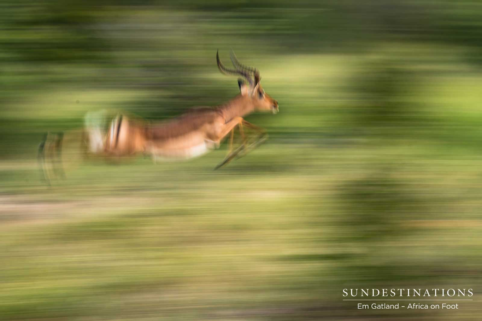 Impala Ram in Motion
