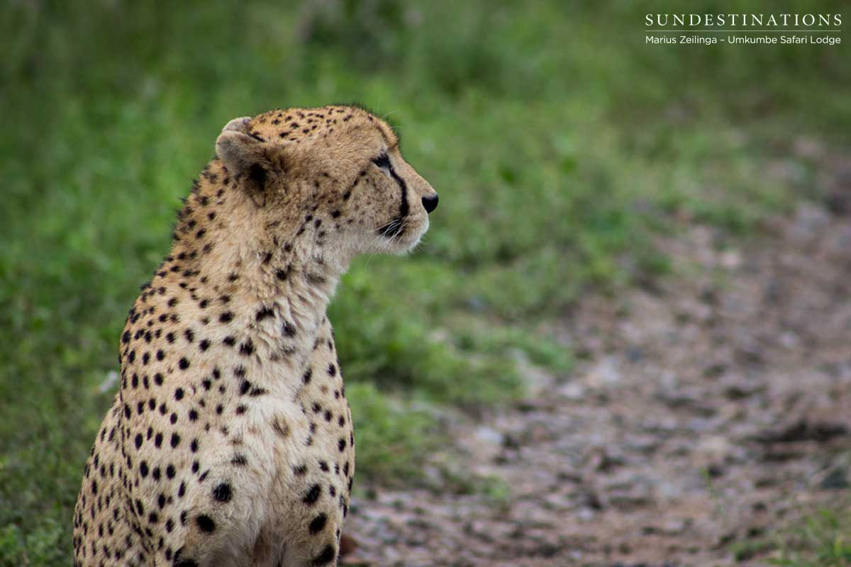 Cheetah at Umkumbe