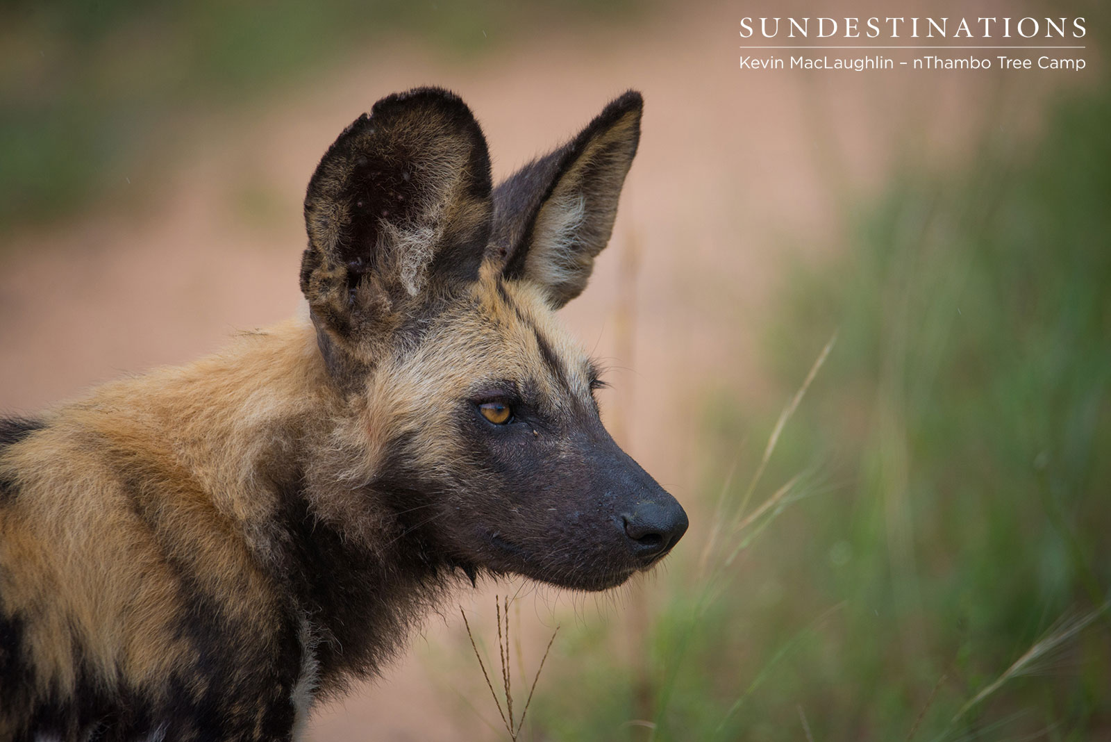nThambo Tree Camp Wild Dog