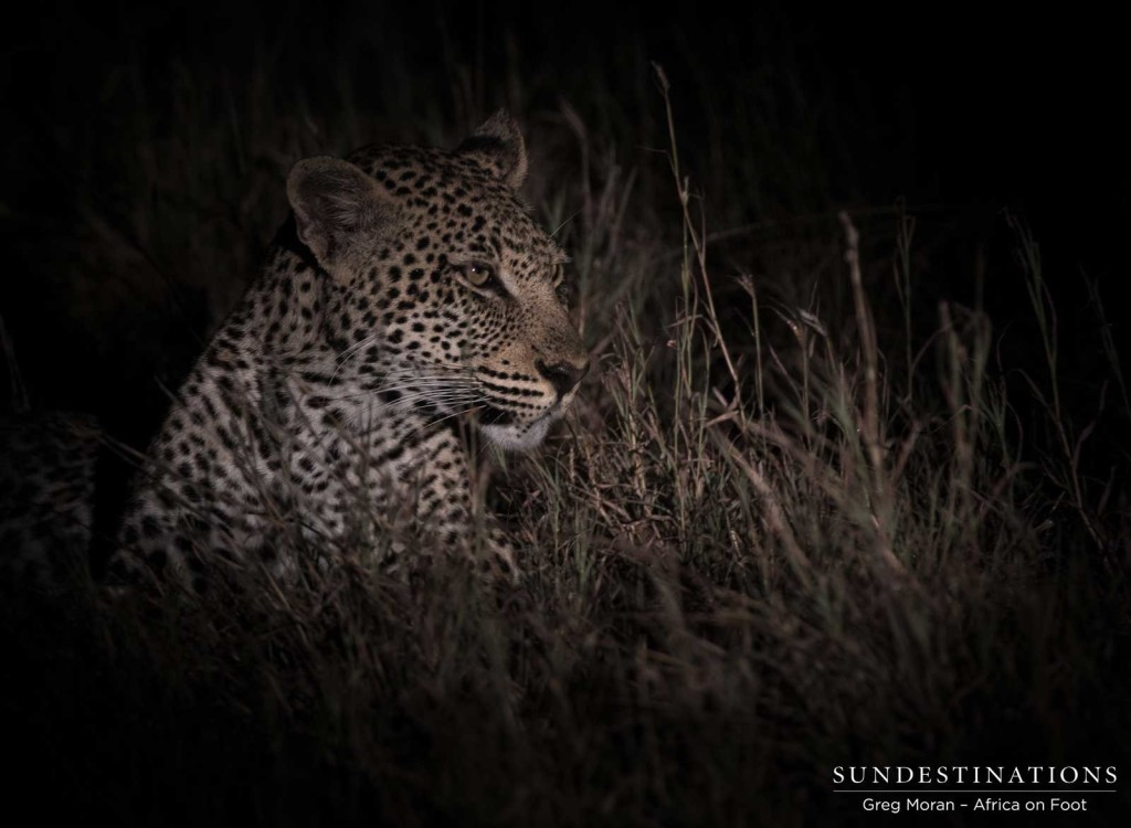 Bundu young male leopard