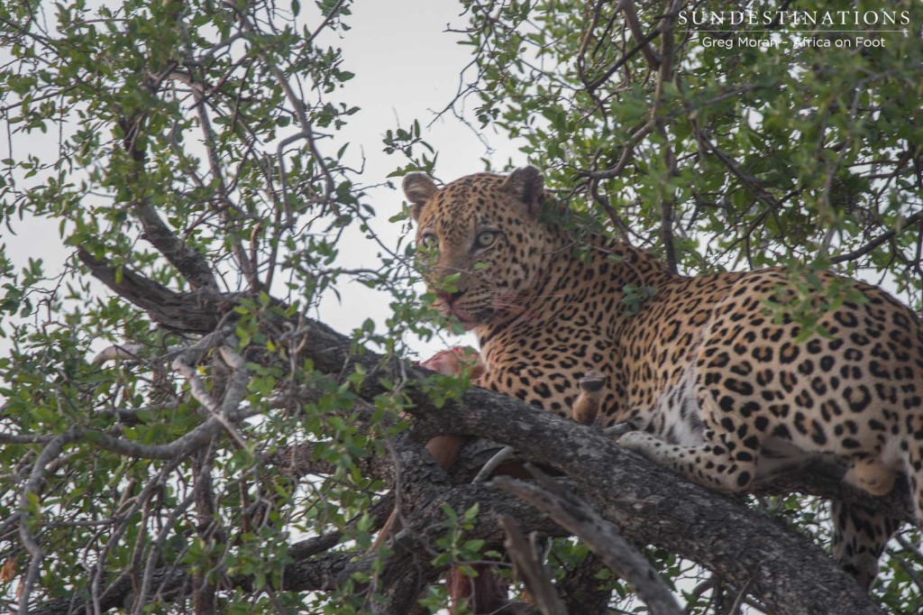 Unknown male leopard with a kill