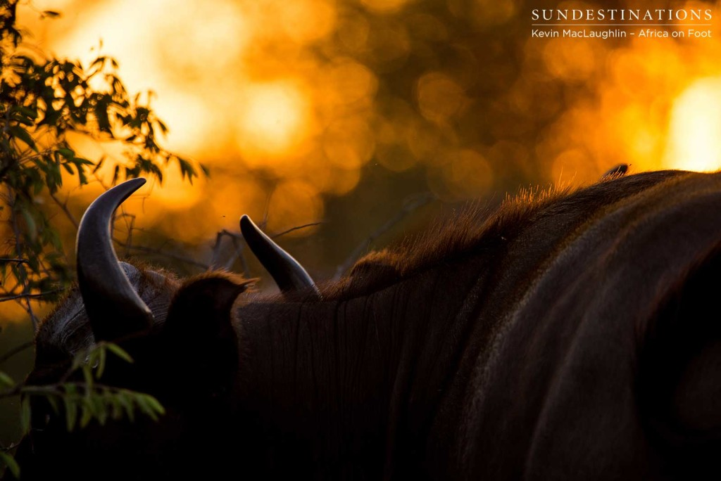A herd of buffalo stand behind a glowing wall of embers as the sun sinks towards the horizon