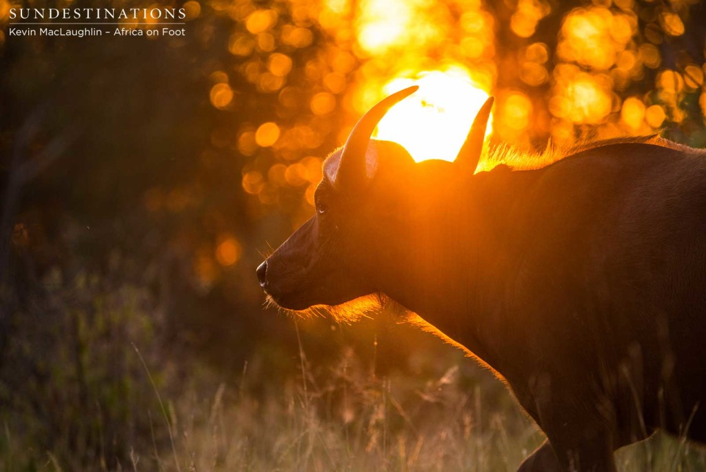Buffalos in amber light