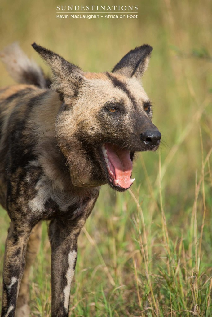 African wild dogs in Klaserie