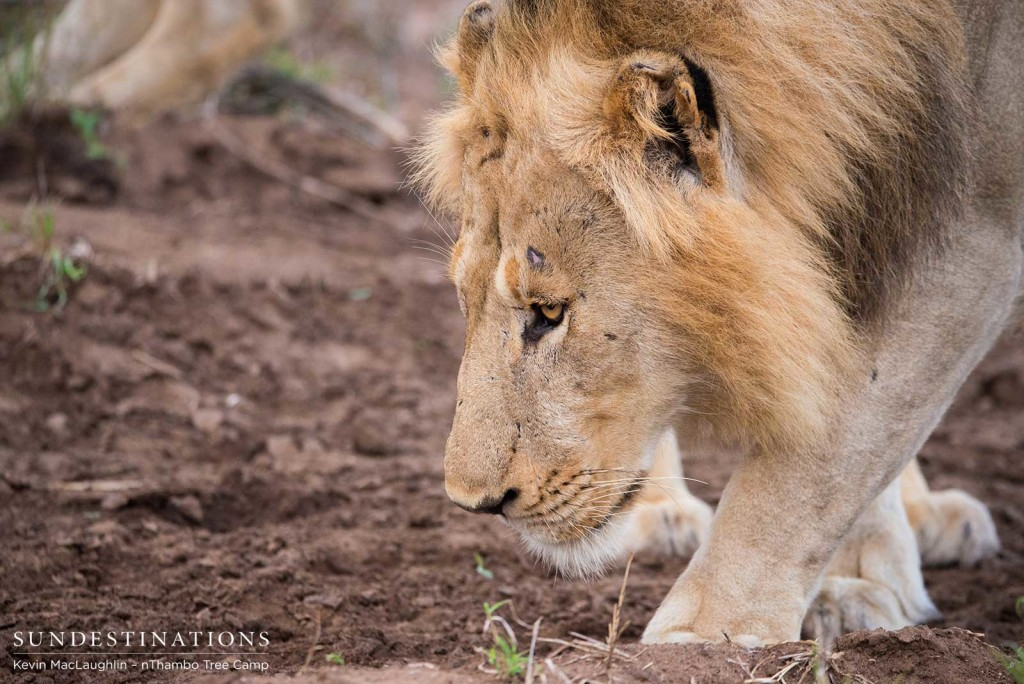 Two unknown male lions at Africa on Foot