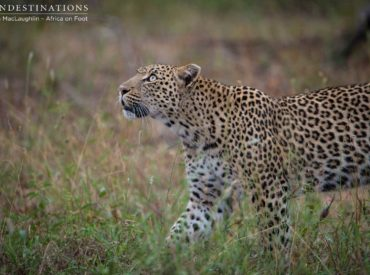 Yesterday morning we were woken up by the territorial calls of unknown male lions, and this morning began with tracking the paw prints of a leopard! Greg and Kevin put their heads together and followed the tracks into the bush where Bundu had been spotted the night before. Scouring the ground for signs of the […]