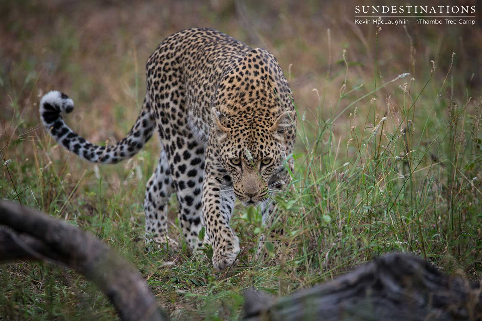 Ross Dam and Bundu: Leopards on a Kill
