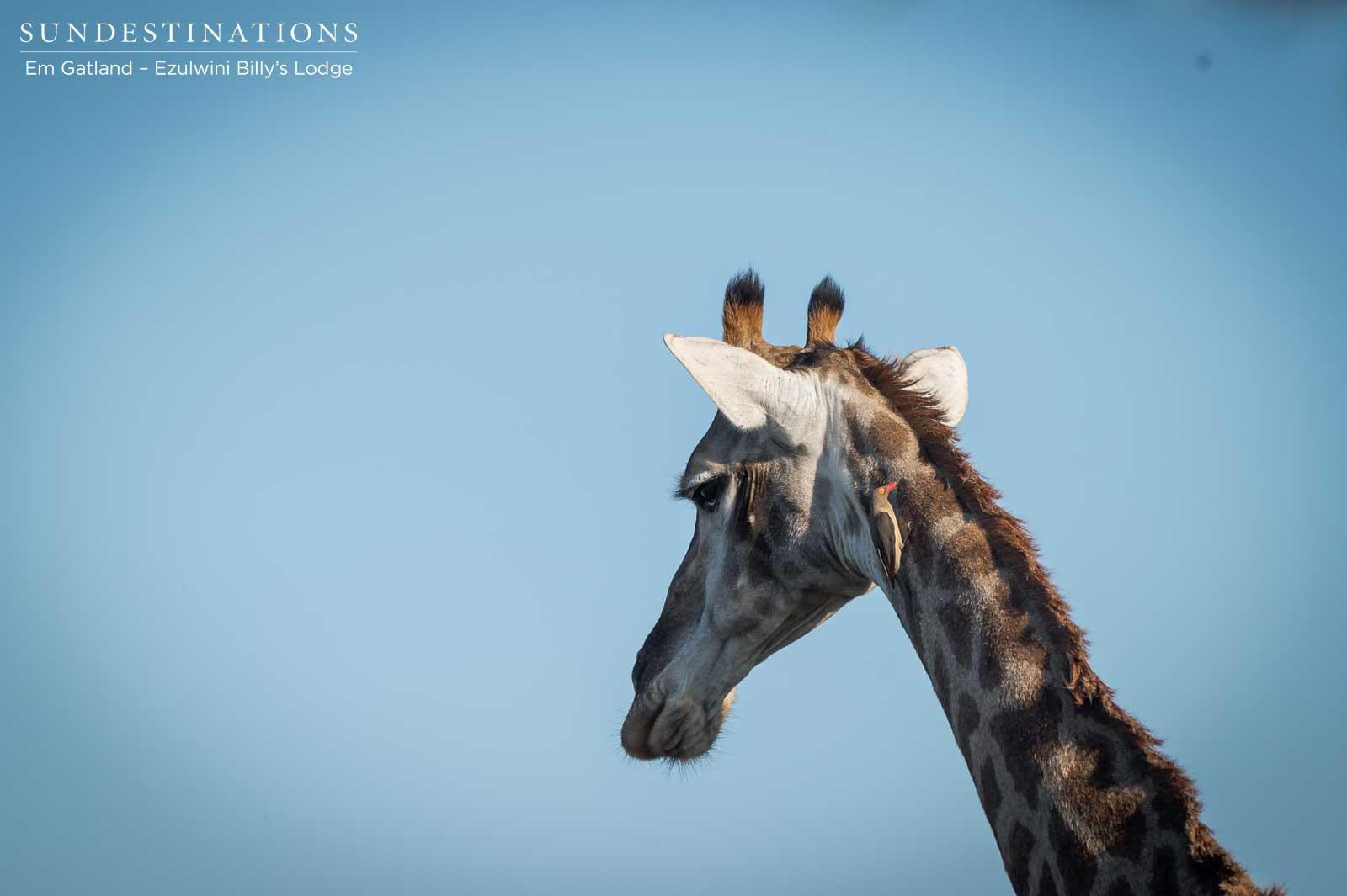 Giraffe in Balule Nature Reserve