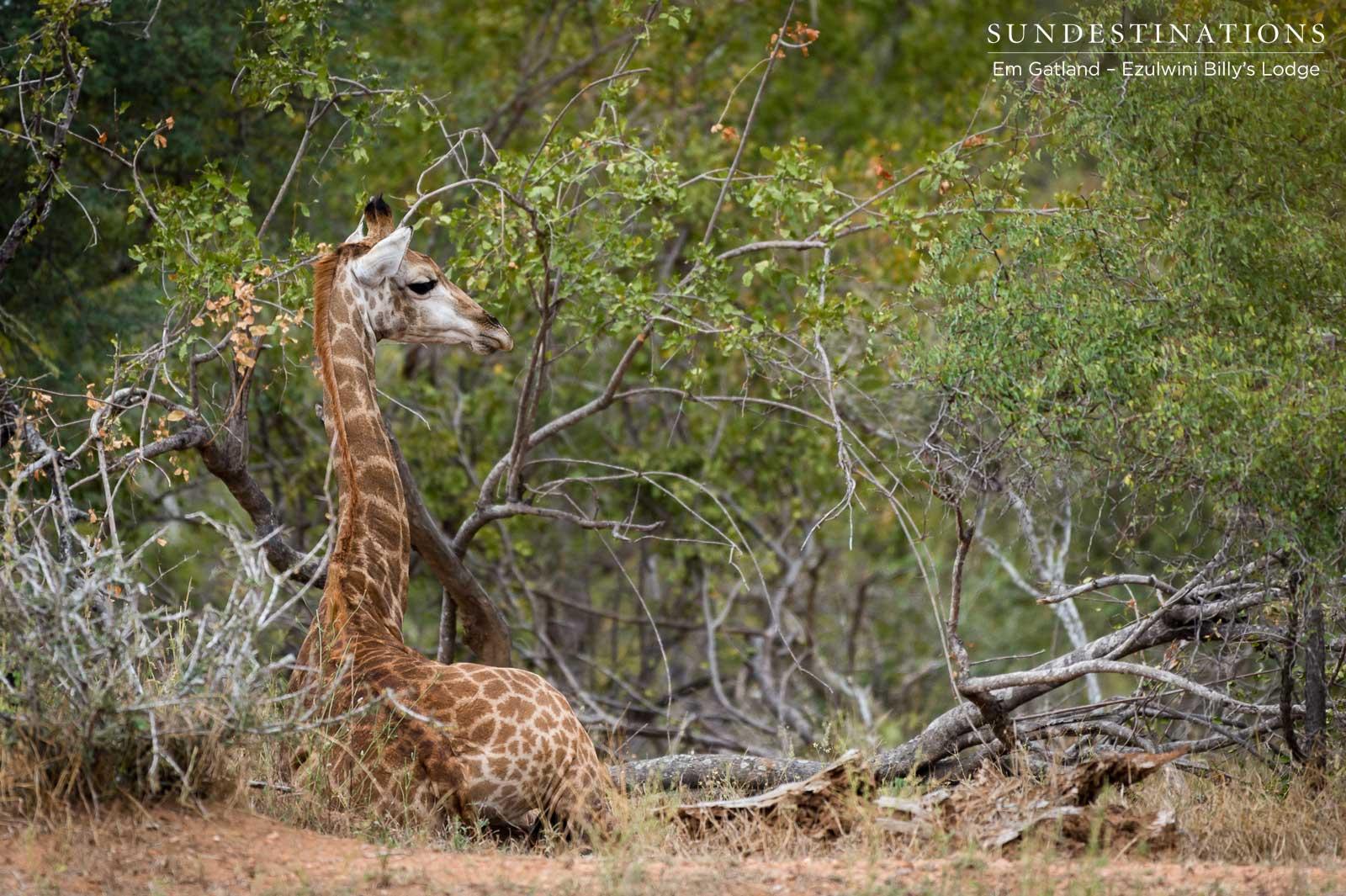 Giraffe at Ezulwini Game Lodges