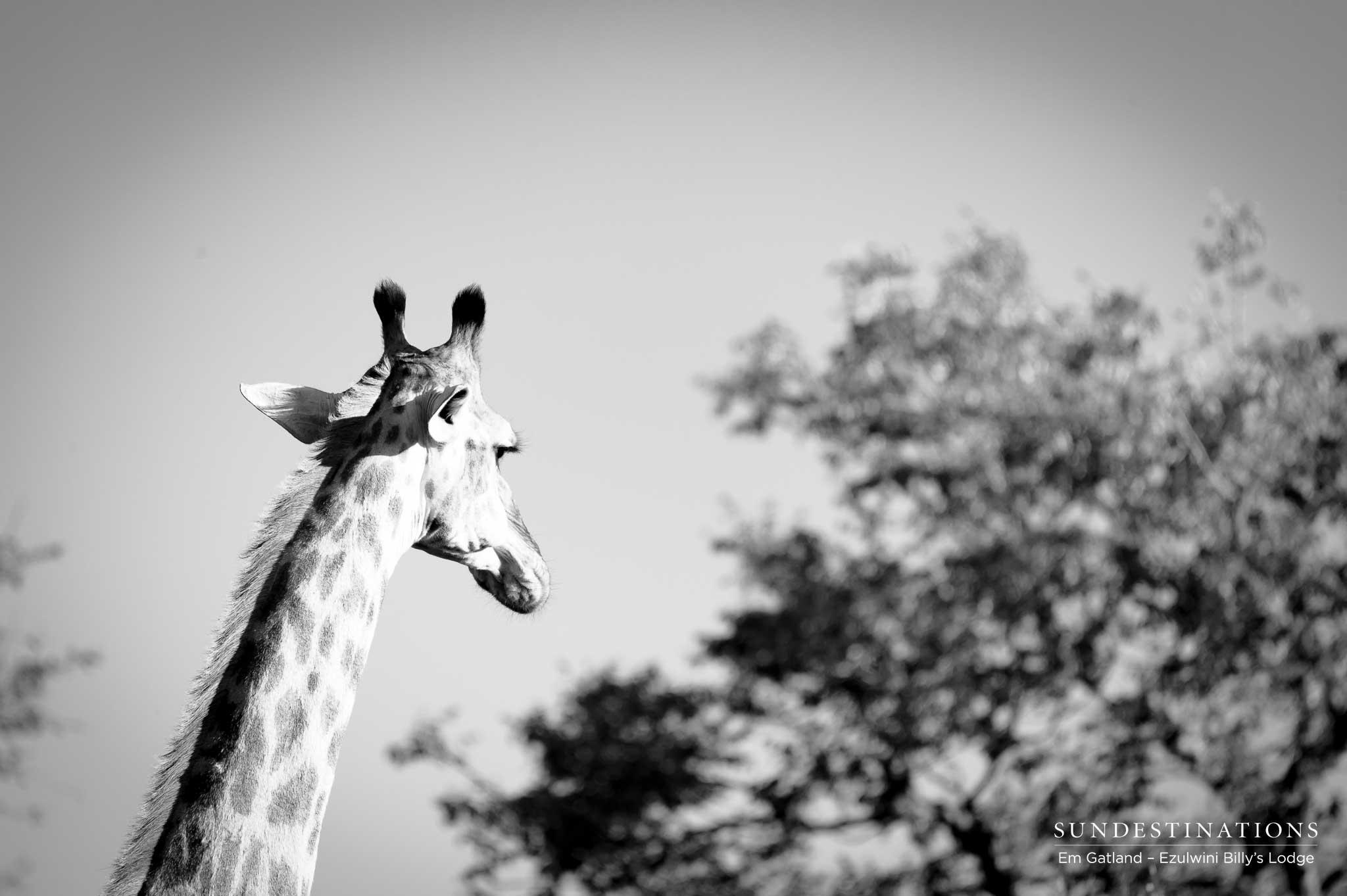 Giraffe on the Horizon Ezulwini
