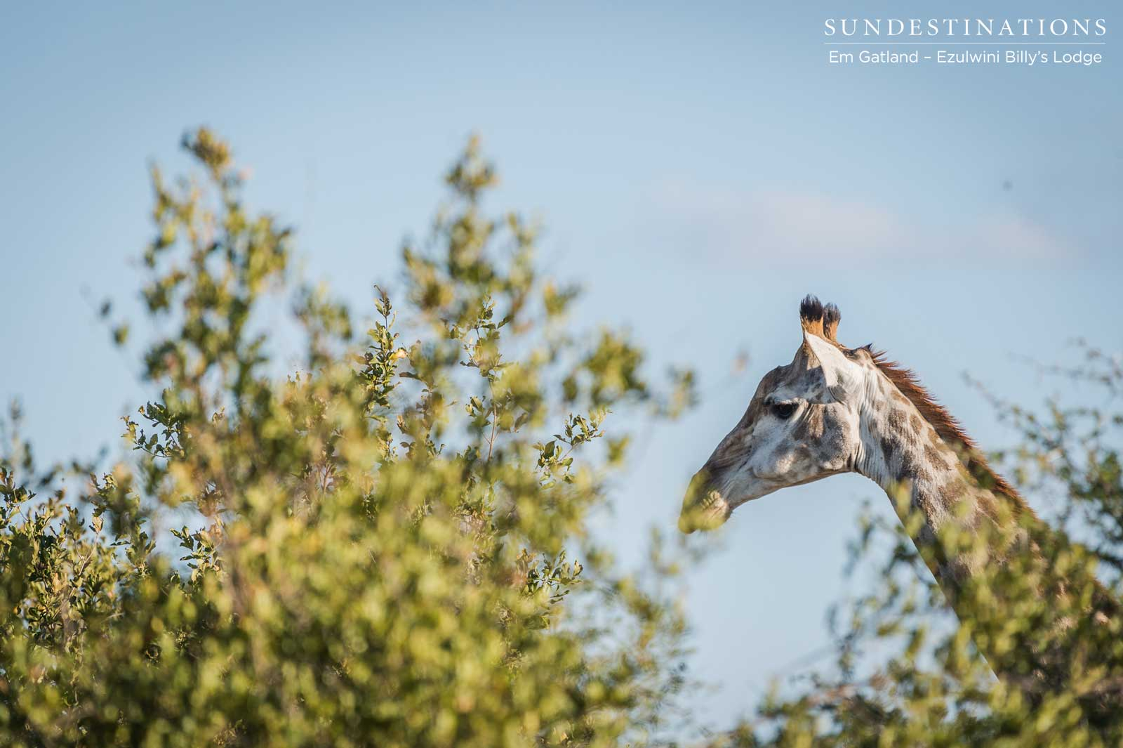 Spotting Giraffe While on Safari with Ezulwini Game Lodges