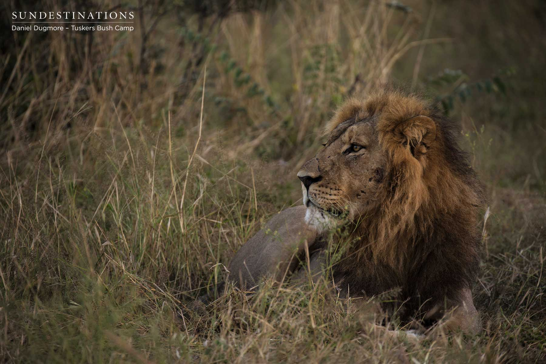 Tuskers Bush Camp Male Lion