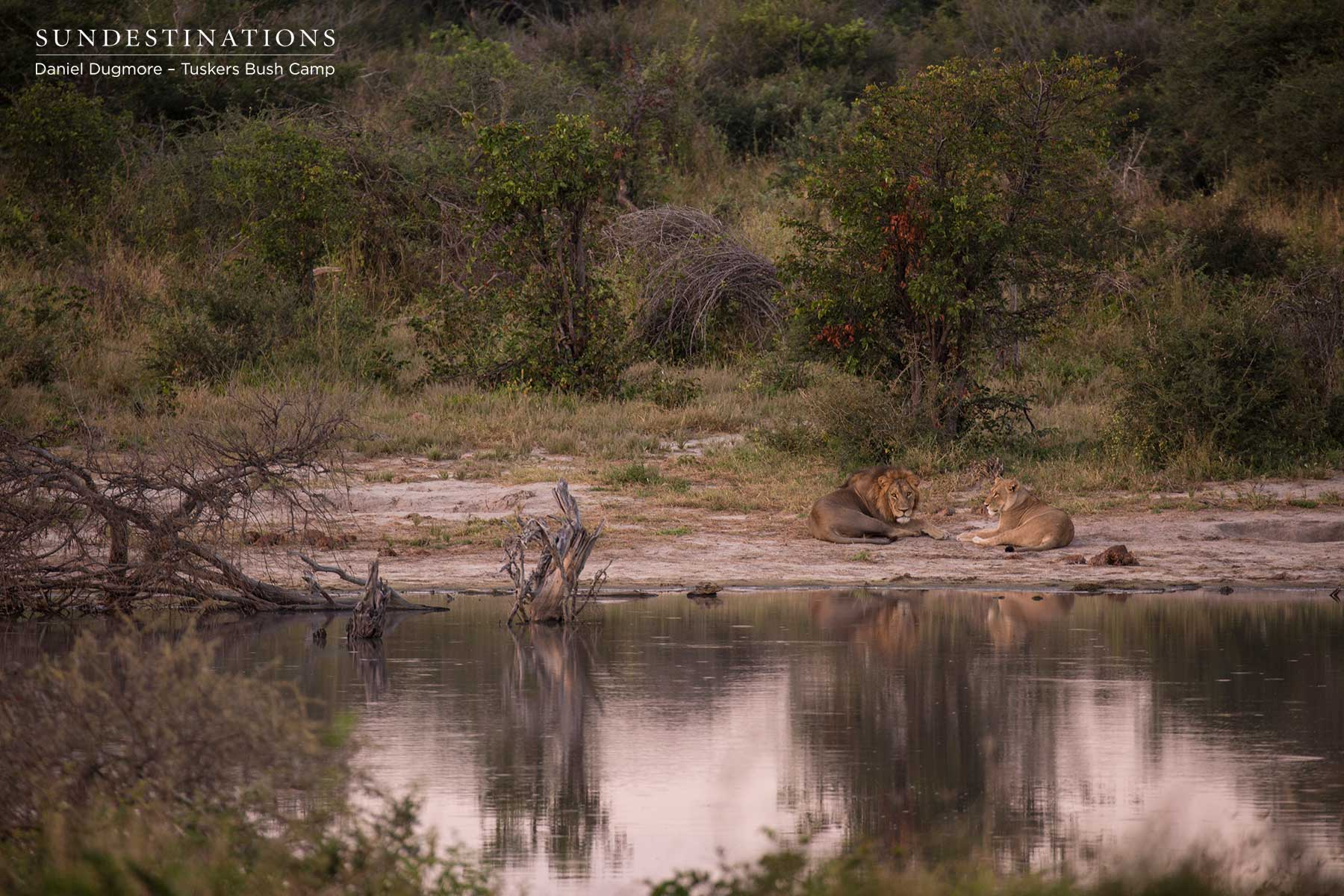 Kwatale Concession : Tuskers Bush Camp Lions Caught in the Act!