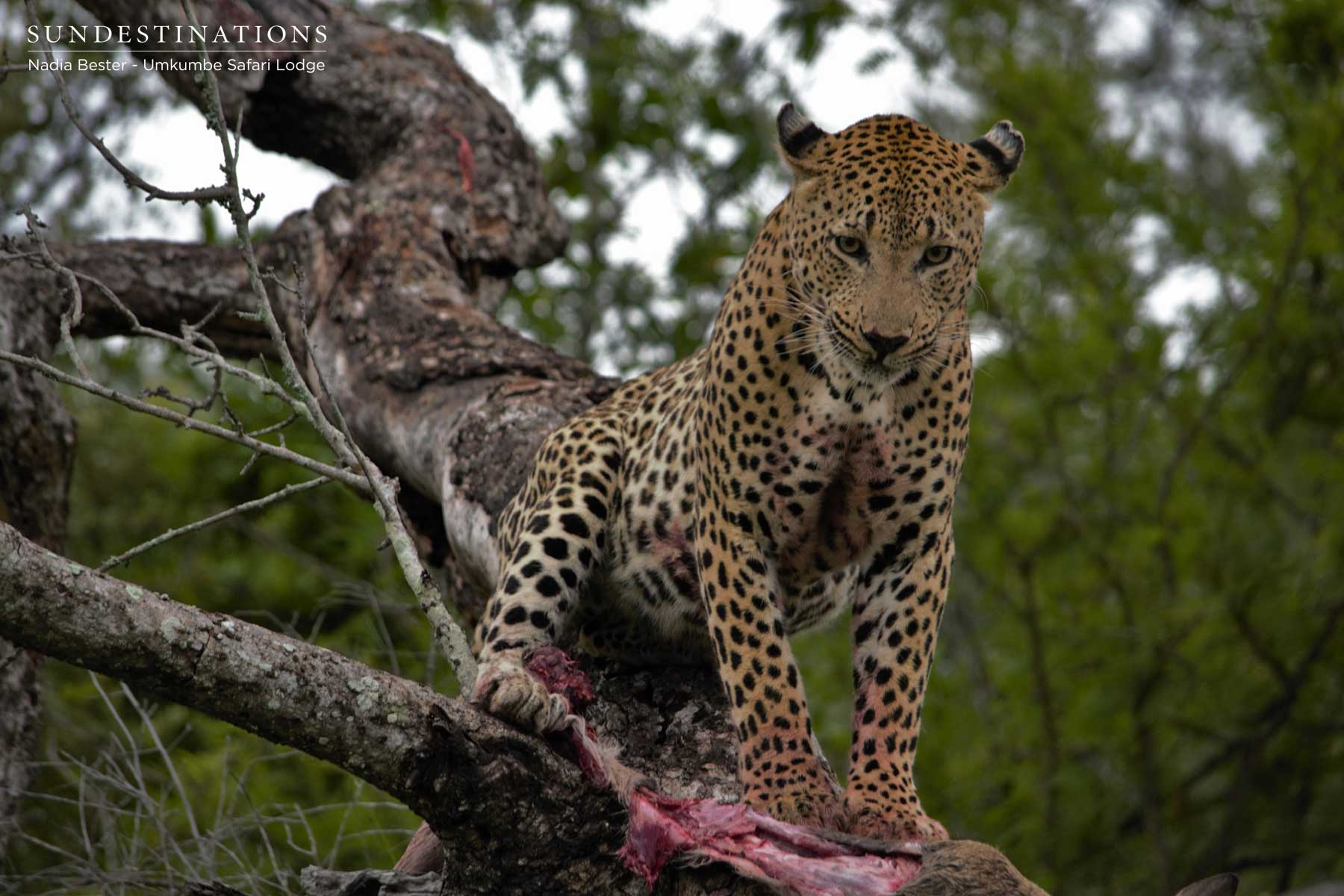 Umkumbe Leopard Update : (Return of the Max) Once Again