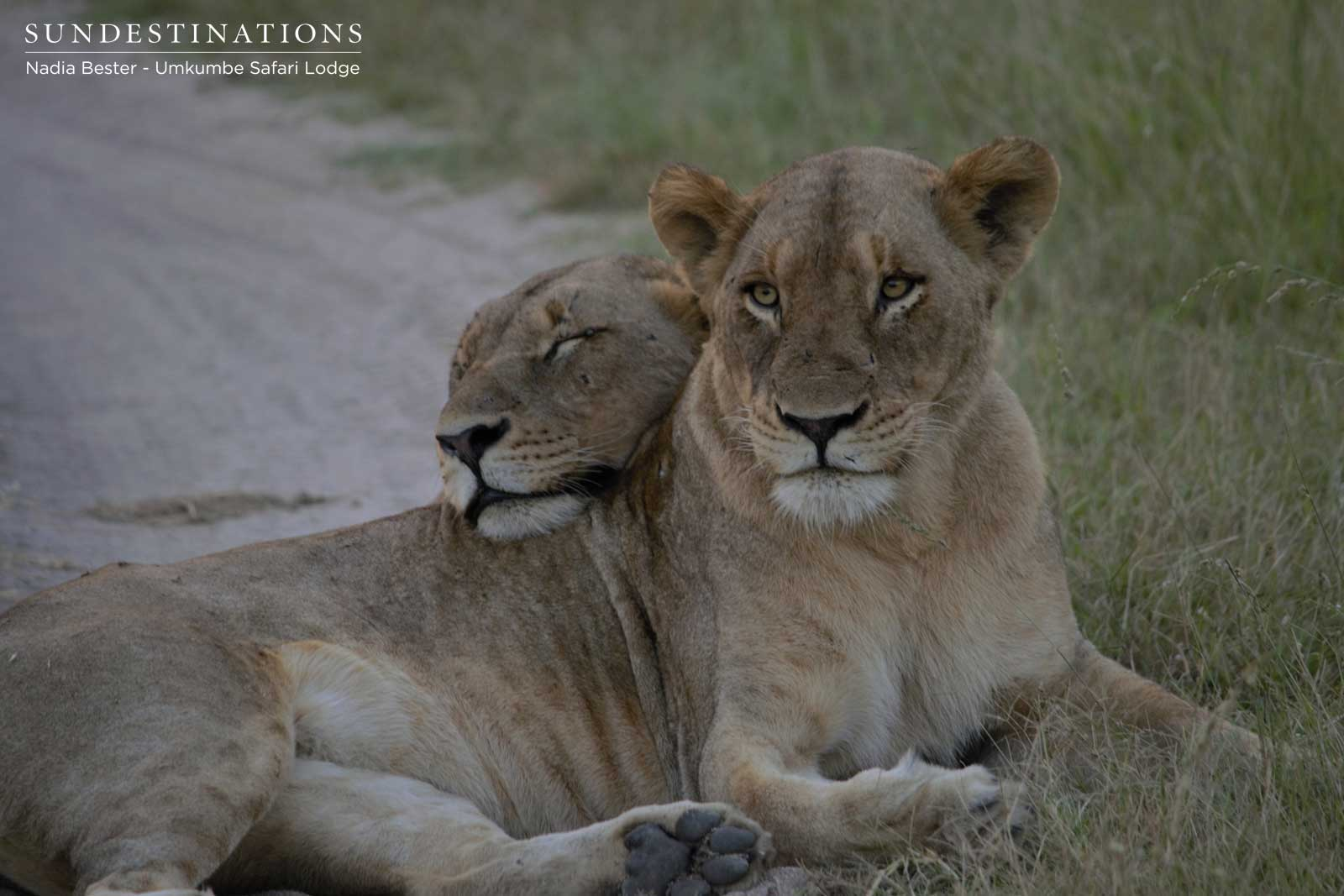 BREAKING NEWS : 6 Mhangeni Breakaway Lionesses KILL Another Lioness