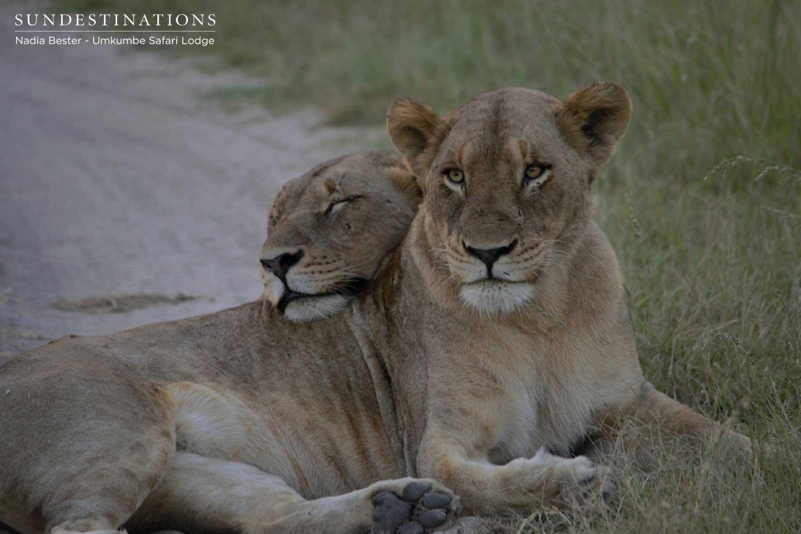 BREAKING NEWS : 6 Mhangeni Breakaway Lionesses KILL ... Lioness And Lion