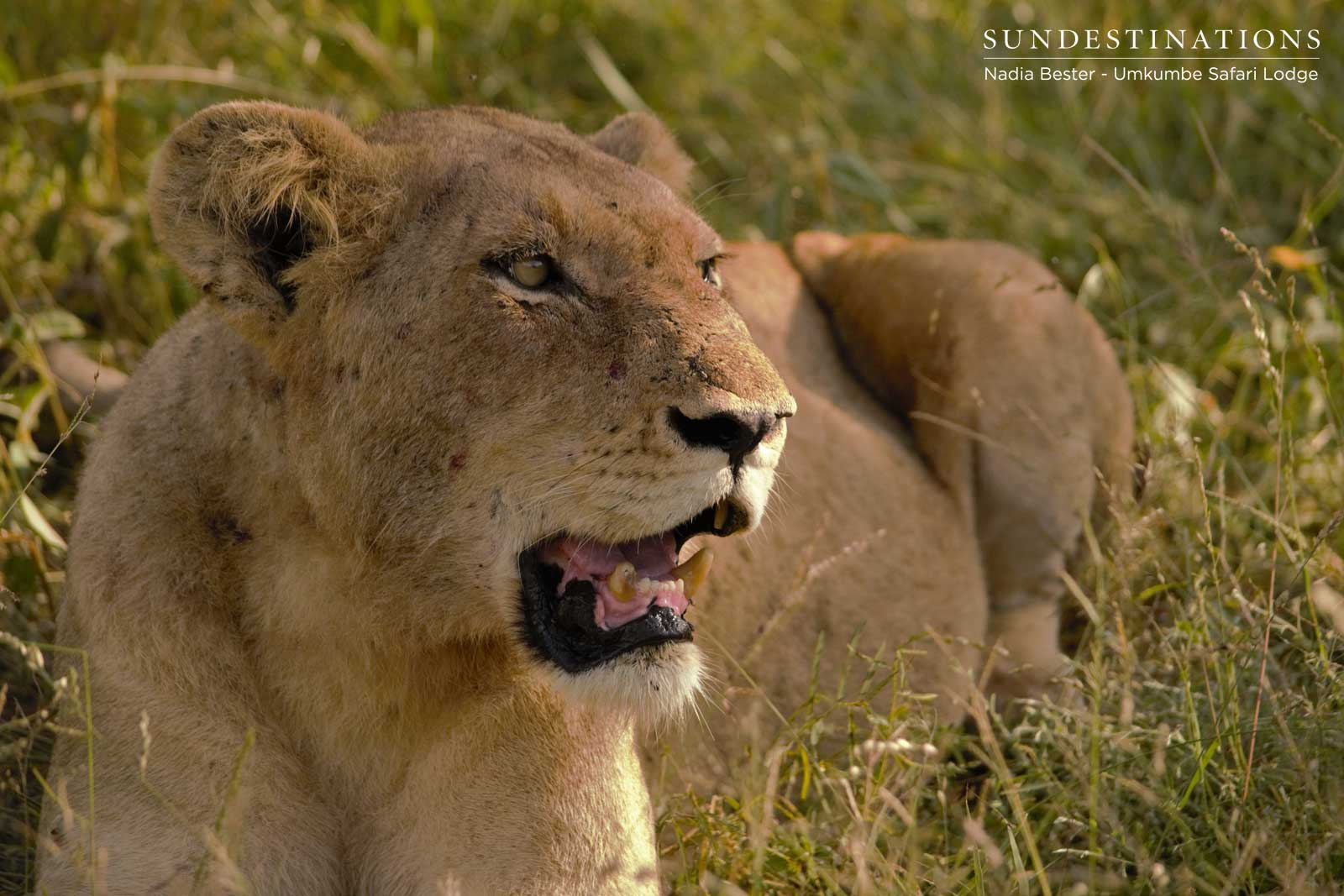 Spart Lioness at Umkumbe