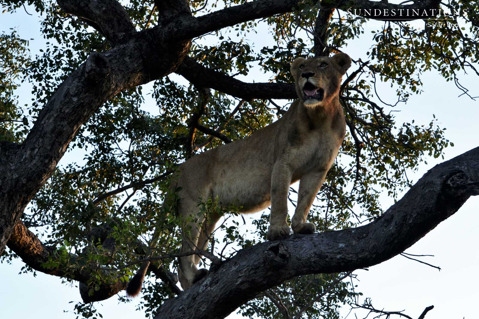 Sparta Lioness in Tree