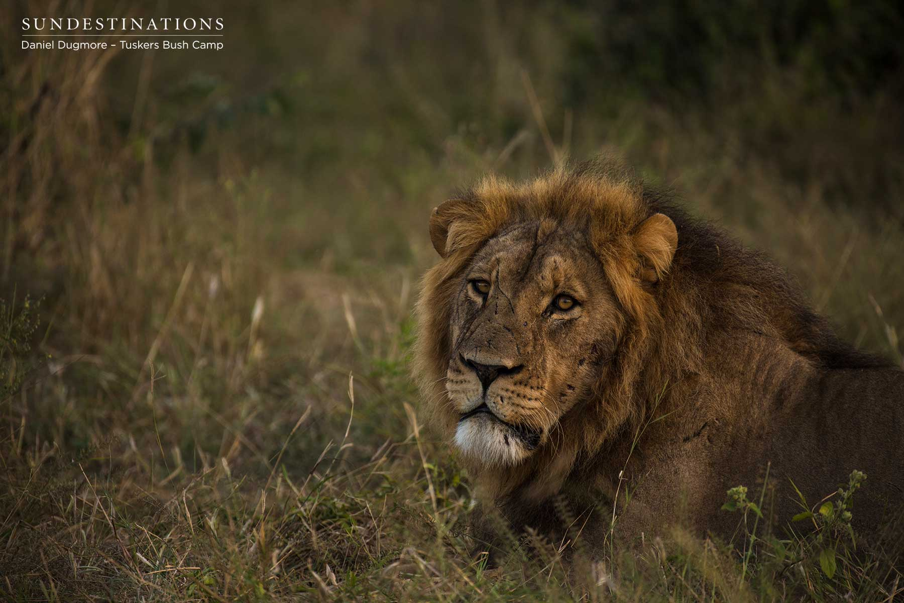 Male Lion in Kwatale Concession Botswana