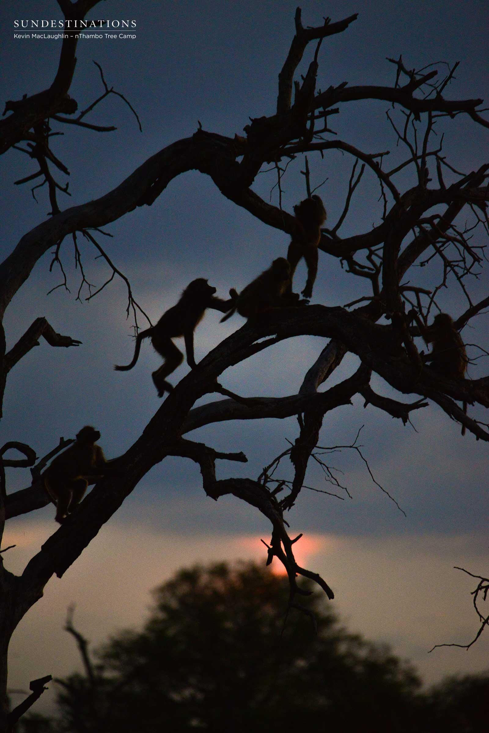 nThambo Baboons at Night