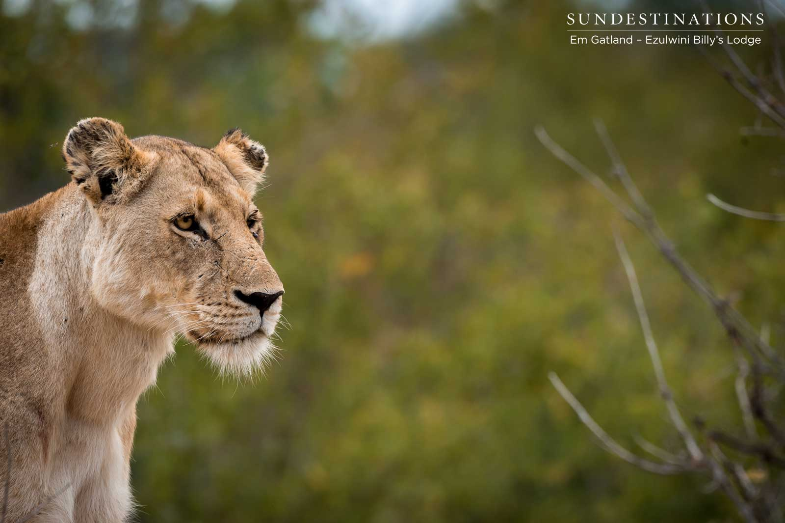 Lioness Ezulwini Game Lodges