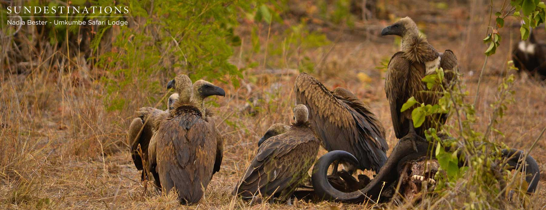 White-backed Vultures at Kill