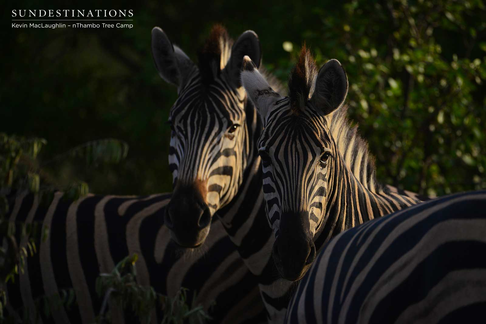 Zebra nThambo Tree Camp